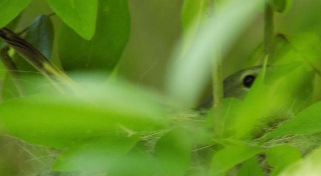 Mother Warbler