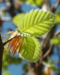 new beech leaves