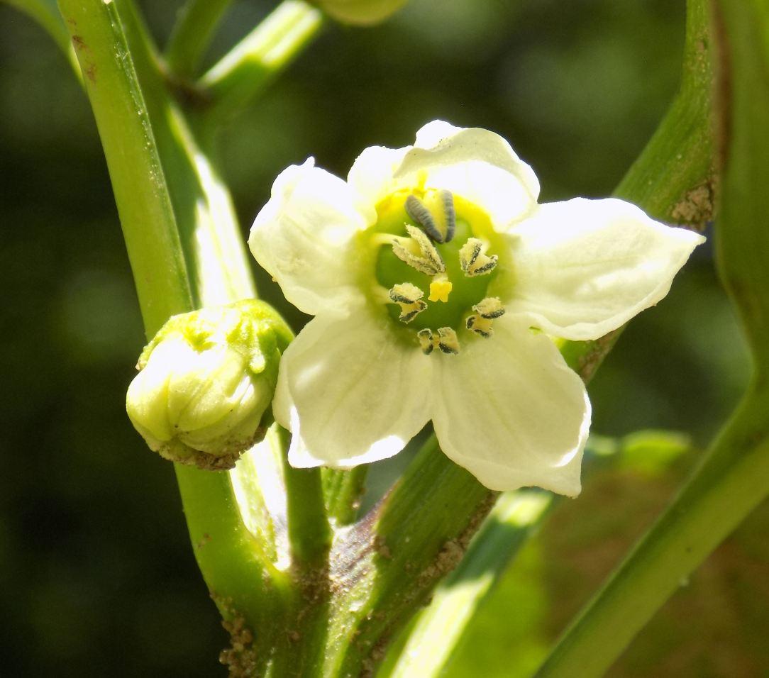 pepper blossom close-up