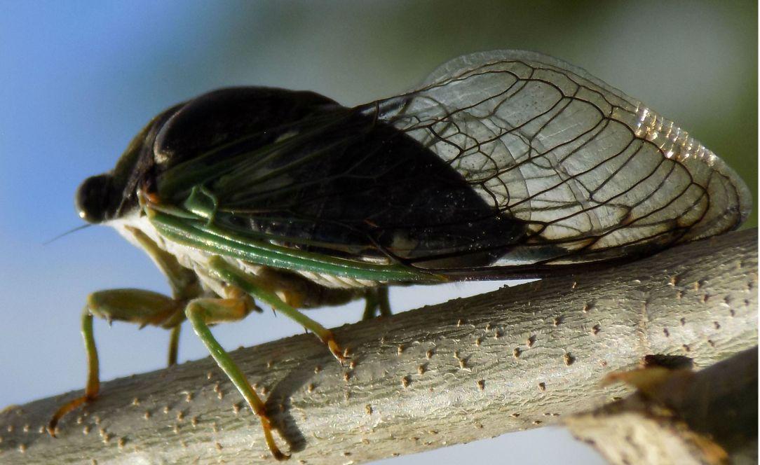 cicada dandelion