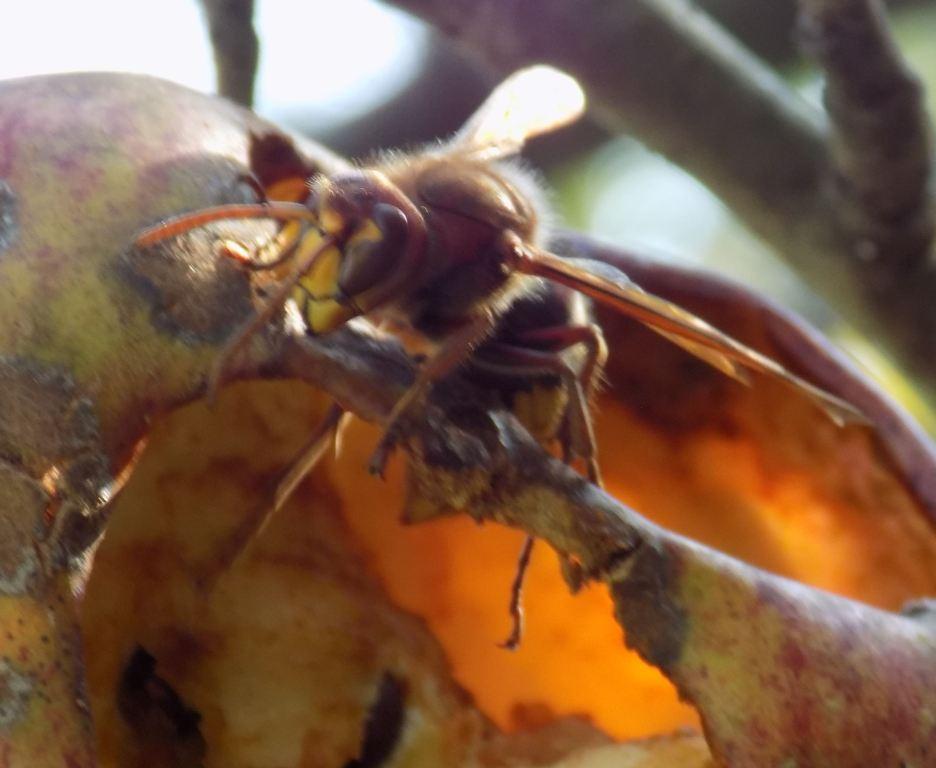 European hornet1