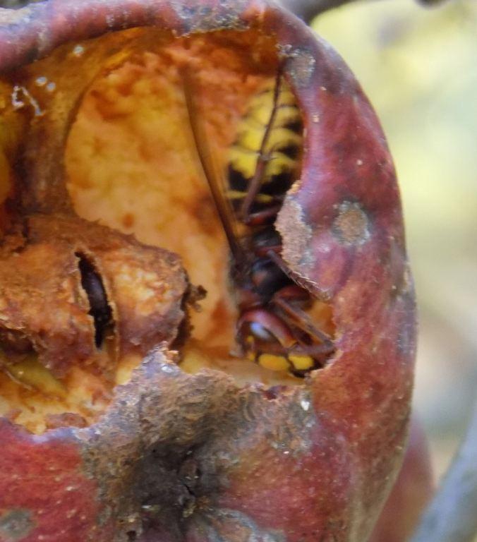 European hornet2