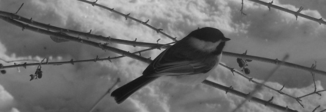 chickadee featured