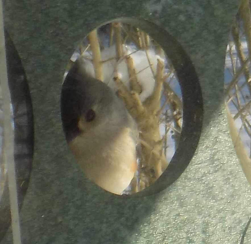 tufted titmouse peeking