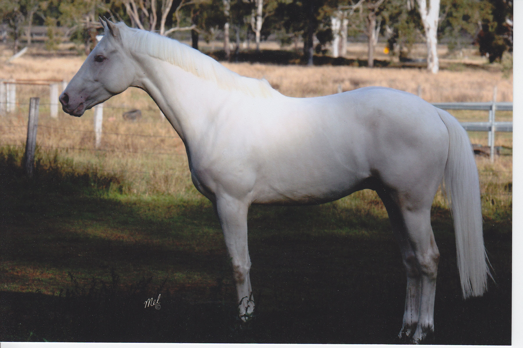 Breed Report Australian Stock Horse Denney Home Place