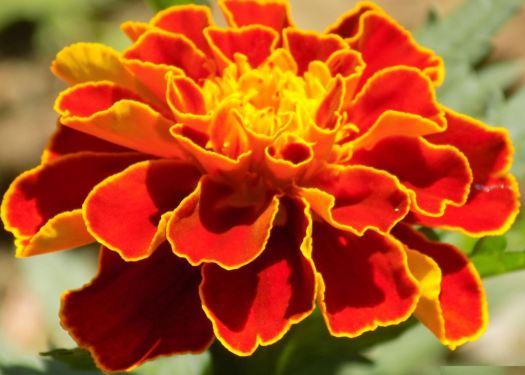 marigold insta