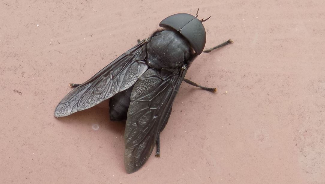 black bug featured