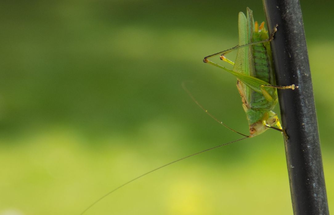 green bush cricket featured