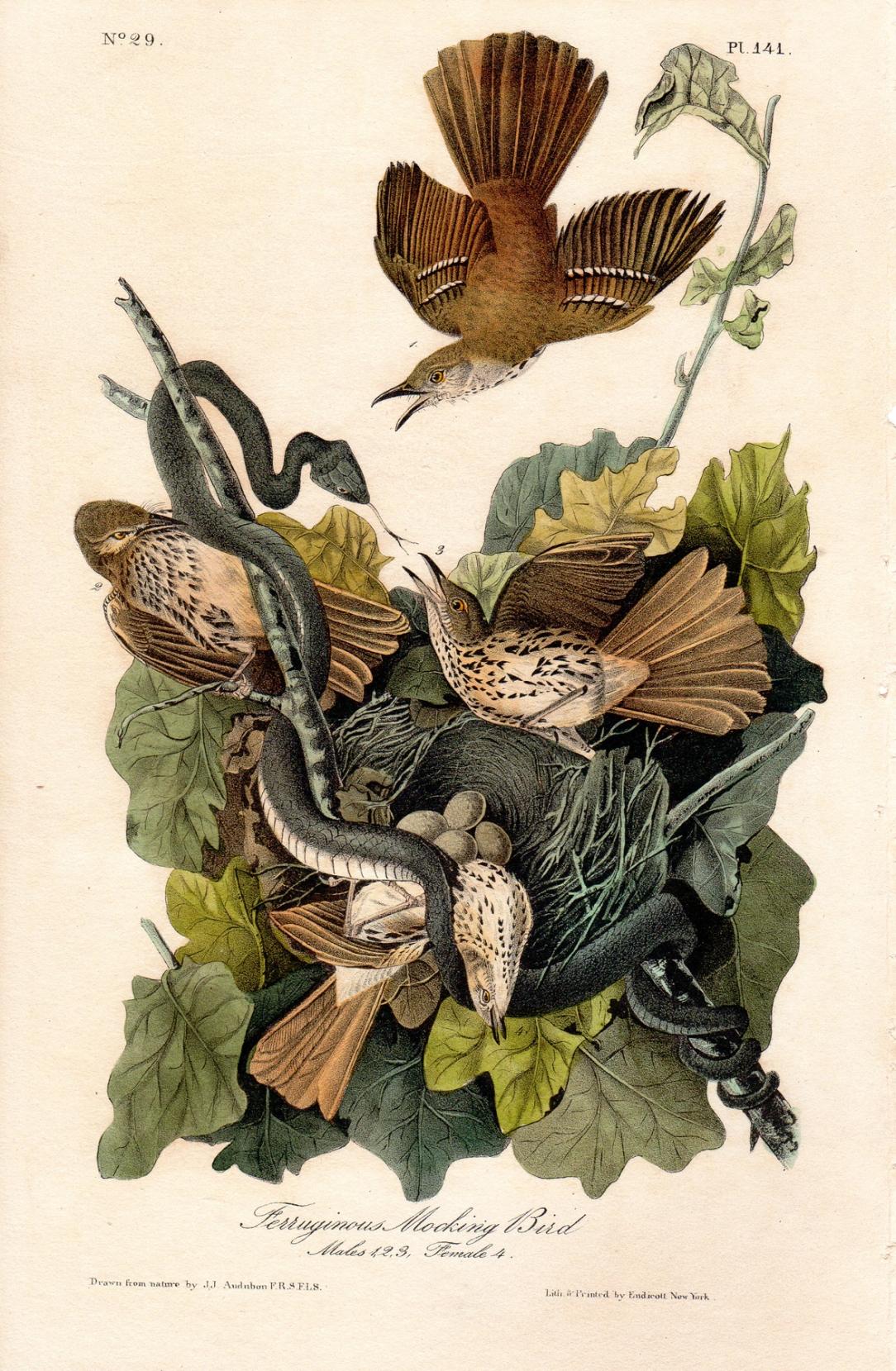Audubon - Ferruginous mocking bird
