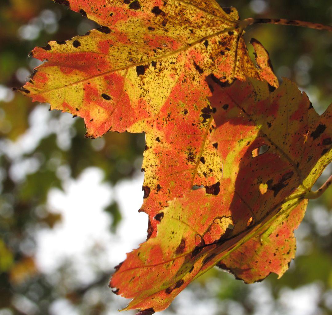 insta maple leaves.jpg