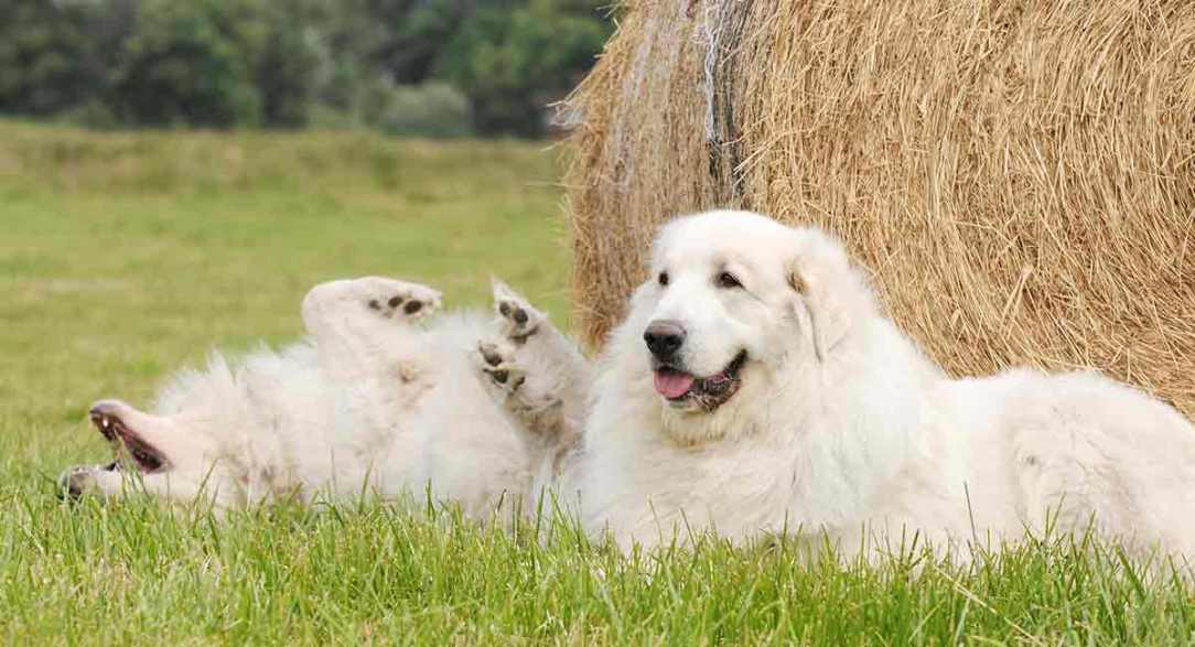 Great-Pyrenees-Names-long