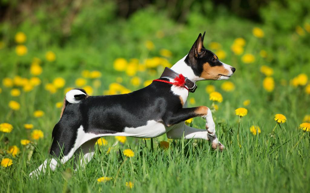 Tricolor-Basenji-Dog
