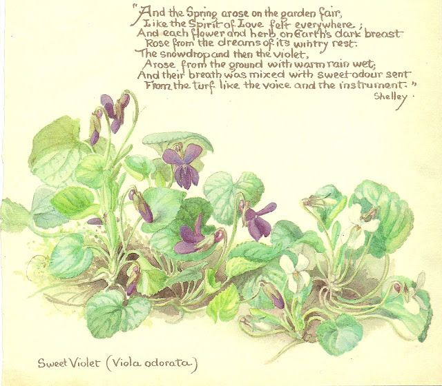 violets shelley