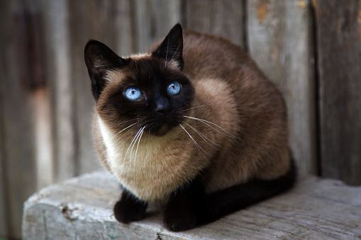 Another Siamese